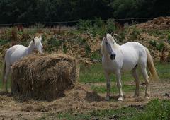 Chevaux blanc