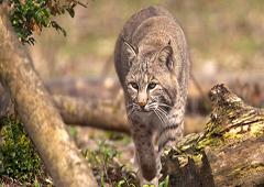 Photo d'un Lynx roux